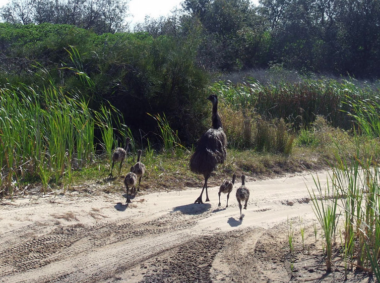Coastal emu with 5 chicks spotted near Wilsons Headland in October 2012