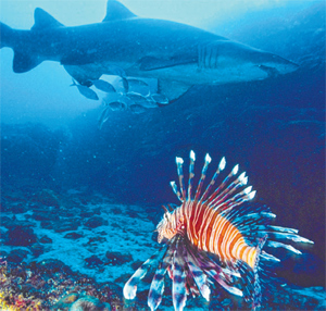 Solitary Islands diving: lion fish and grey nurse shark