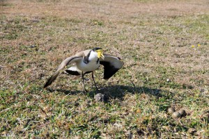 Spur-winged plover defending its eggs at Yuraygir National Park