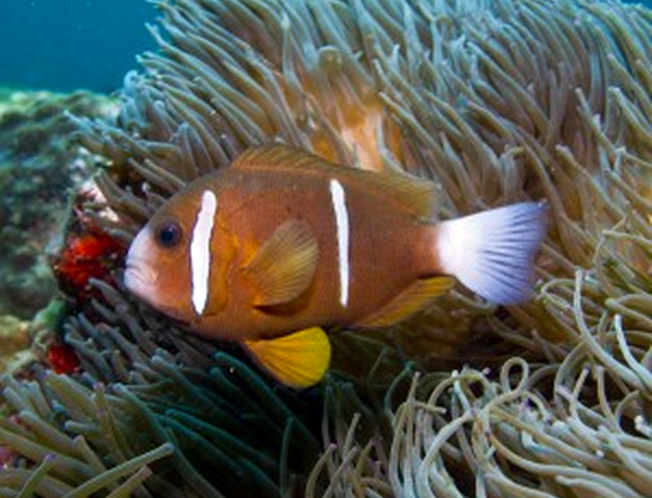 The world's largest concentration of Anemone and Anemone Fish at Anemone Bay, North Solitary Islands