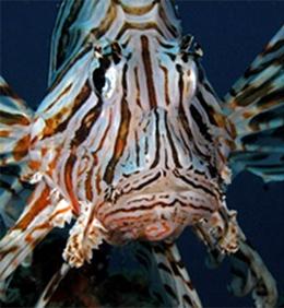 Lionfish around North Solitary Island