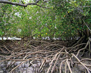 Mangroves at the Solitary Islands Marine Park