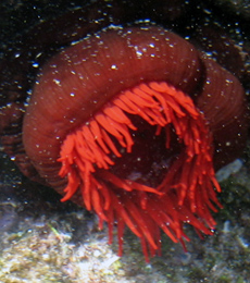 Red waratah anemone at Solitary Islands Marine Park
