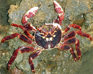 Rocky shore crab at Solitary Islands Marine Park