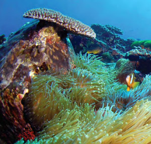 Anemone and anemone fish at North Solitary Islands