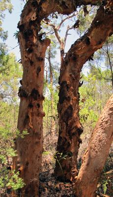 Beautiful trees at Angophora Grove Walk, Minnie Water